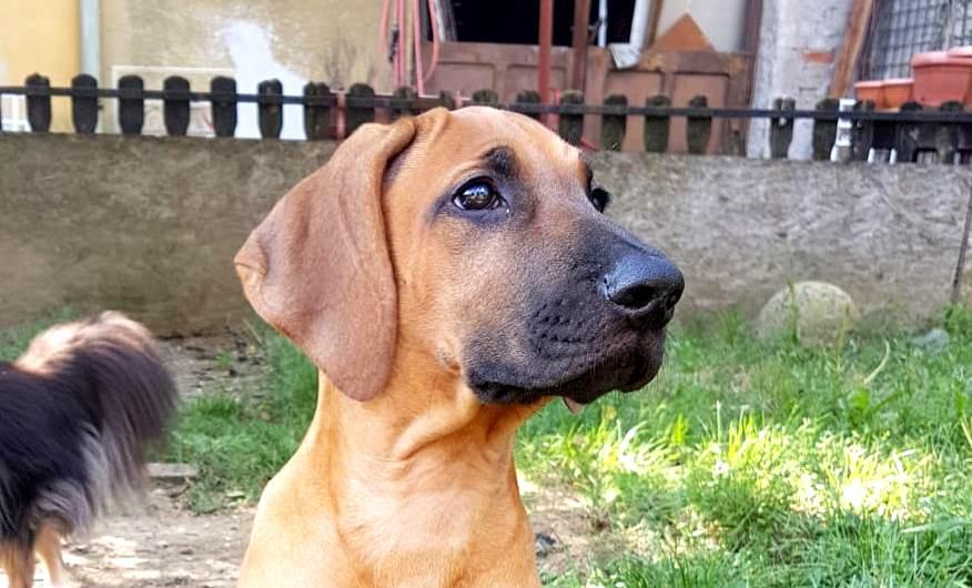 Rhodesian Ridgeback O. Ayaba puppy