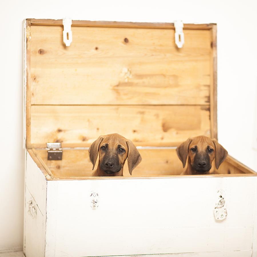 Rhodesian ridgeback puppies, rodezijski ridžbek štenci