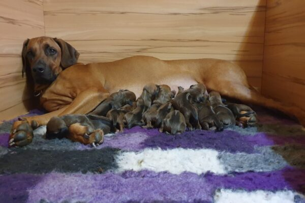 Rhodesian Ridgeback puppies Ayaba Kennel