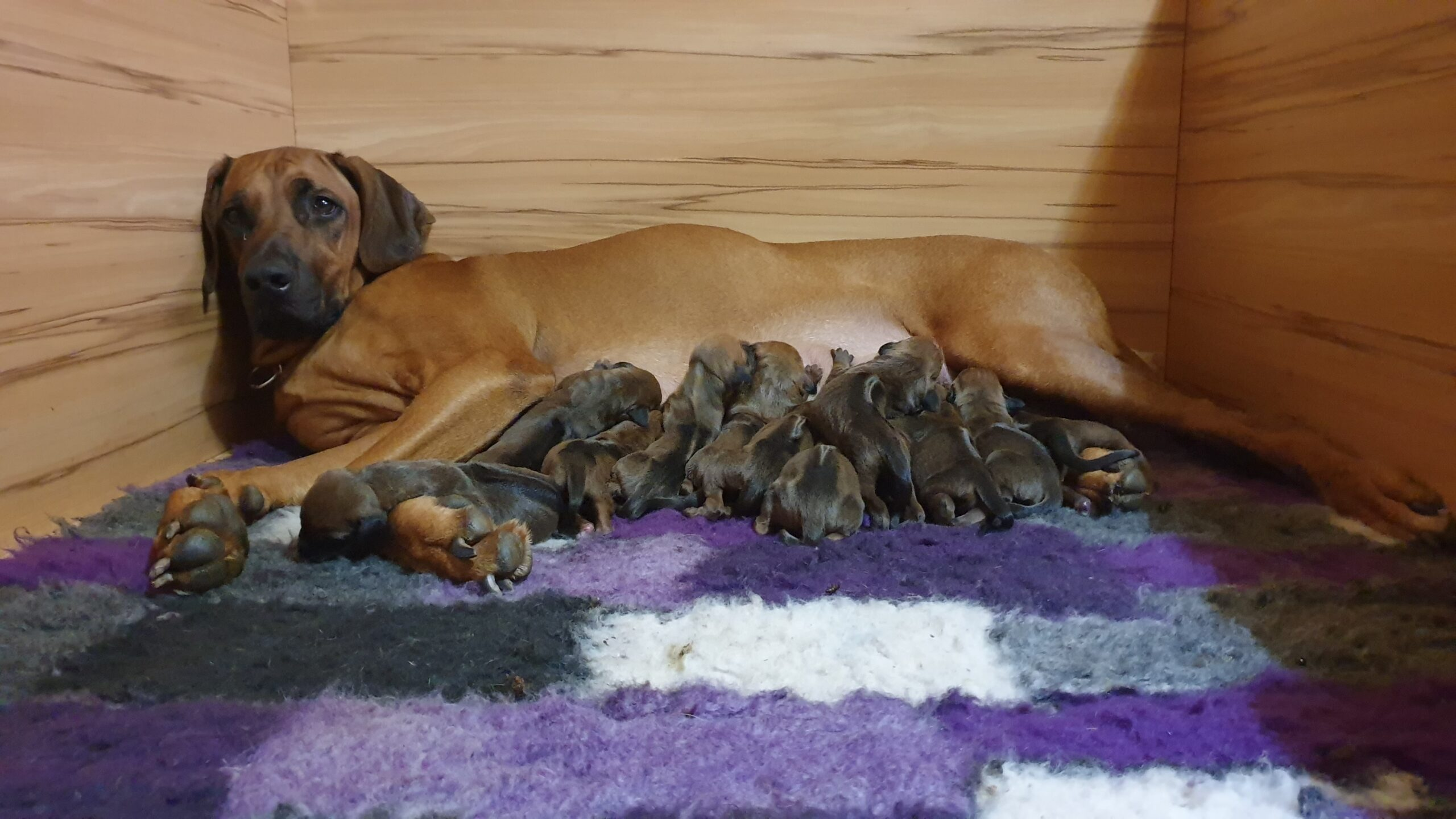 P litter puppies available / P leglo štenci